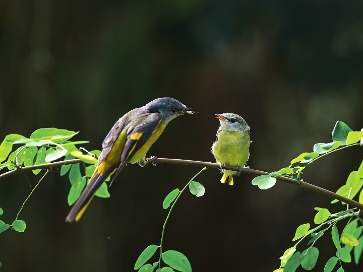 The female yellow-throated minivet is bright yellow, overturning the general rule in nature of simple colors for female birds. (Photo: Guo Gengguang)