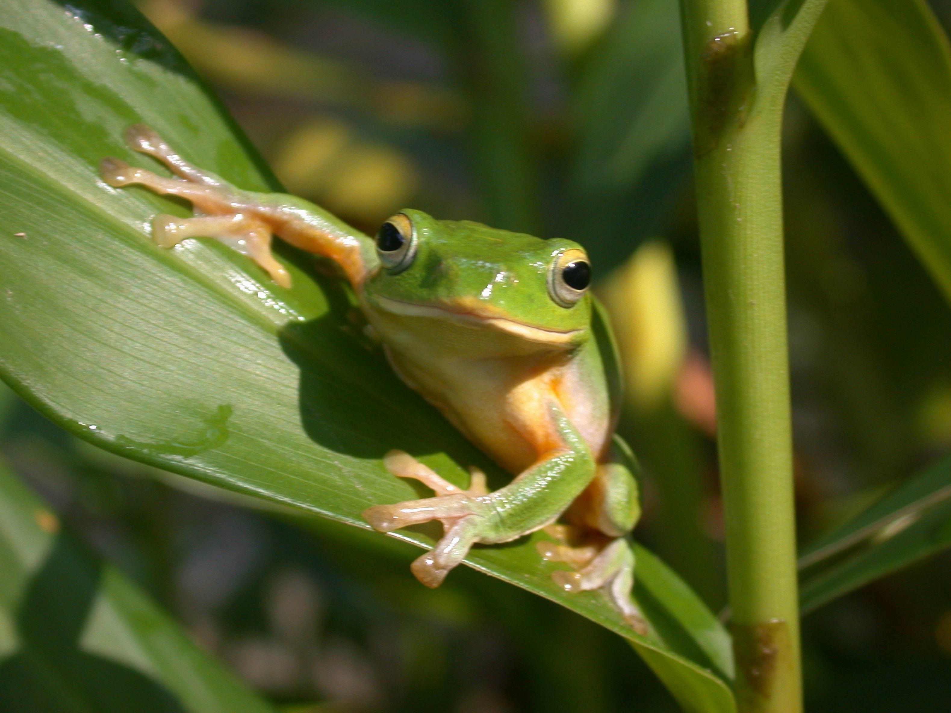 生態醫院─樹蛙