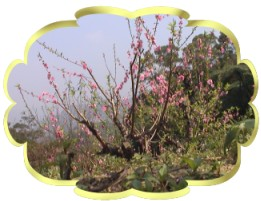 杏花林之杏花圖