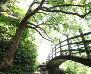 Circular Tea Trail-century-old camphor trees