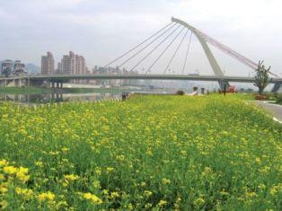 Yellow Rape Flowers of Dajia Riverside Park
