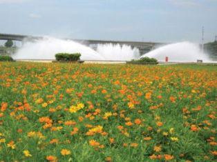 Orange Cosmos of Dajia Riverside Park