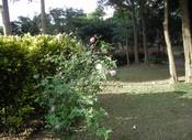 植栽2小葉欖仁