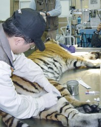 Health examination of Tiger