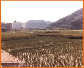 內湖區第三期重劃前,種植農作物,土地無法集中利用之二