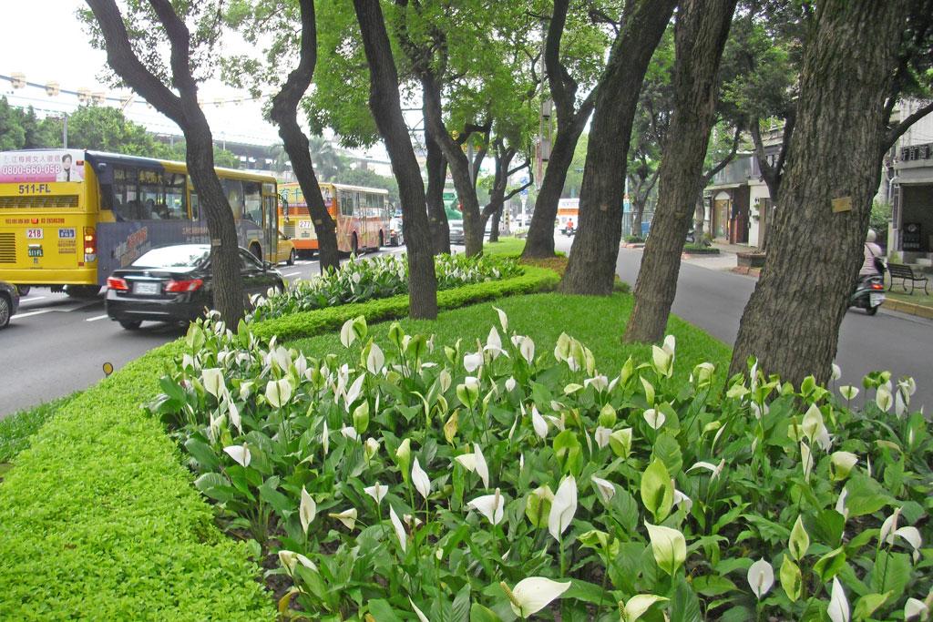 中山北5段中央分隔島栽植耐陰白鶴芋營造層次及觀花效果