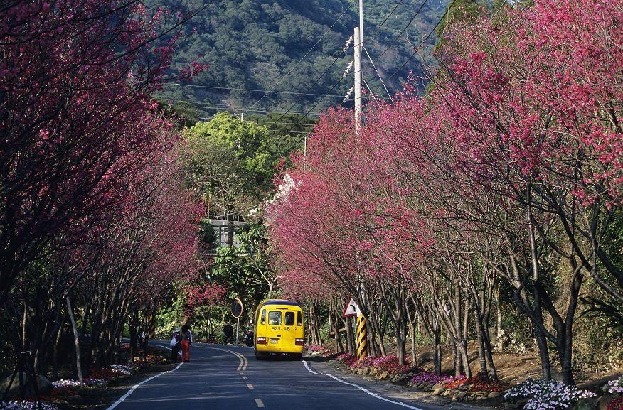 2、3月份復興三路櫻花道,滿開盛況(圖-鍾文萍、楊智仁提供)