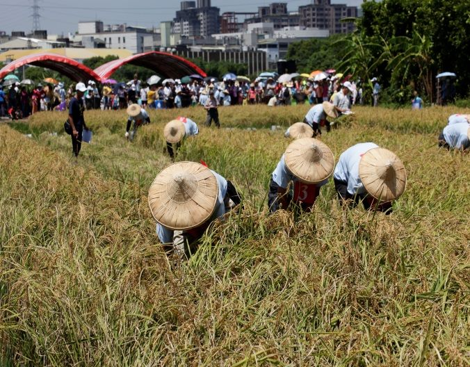 北投割稻體驗