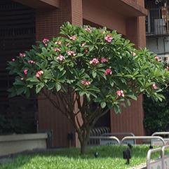 行政中心前雞蛋花樹(鹿角樹)