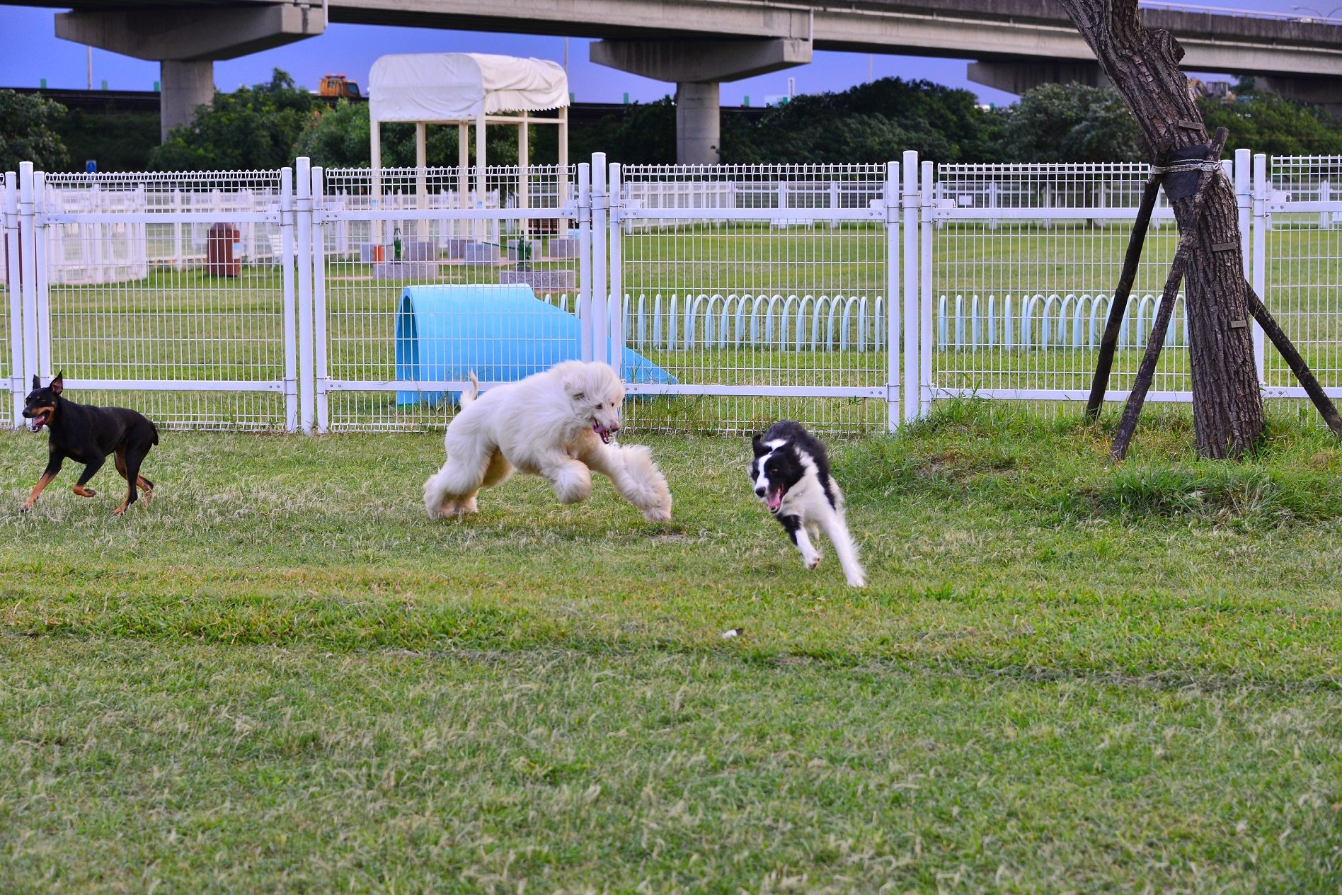 圖1.臺北市迎風狗運動公園具有廣闊草地讓犬隻盡情奔跑