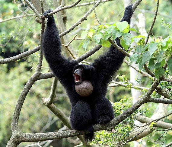 大長臂猿溝通頻繁〜熱帶雨林區典型叫聲