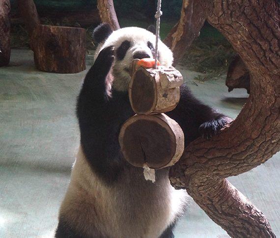 親愛的,你把玩具縮小了?大貓熊「圓仔」的玩具史