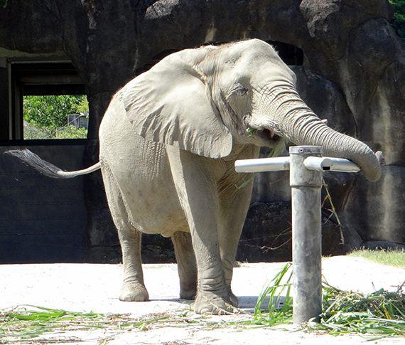 非洲象練梅花樁?初級版「手」到擒來