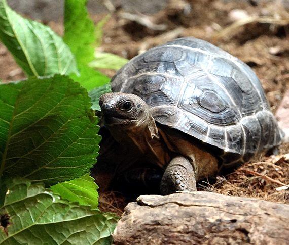 亞達伯拉象龜寶寶〜成長快速滿週歲囉!