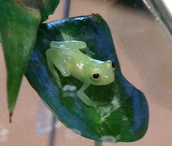 「一眼就被看透透的「玻璃蛙」