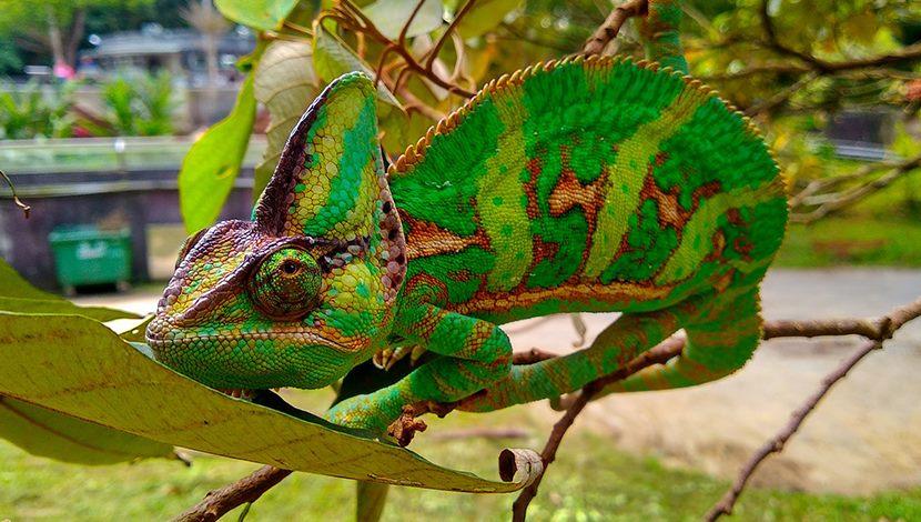 保育員依靠察「顏」觀「色」~協助變色龍繁殖配對