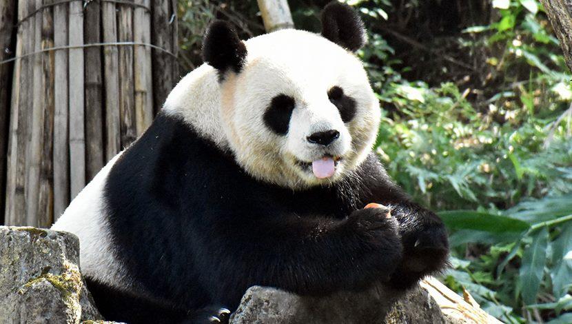 大貓熊嚐鮮謹慎小心,栗子大餐一試成主顧