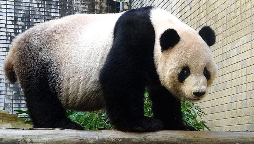大貓熊團團要瘦身、飲食健身雙管齊下