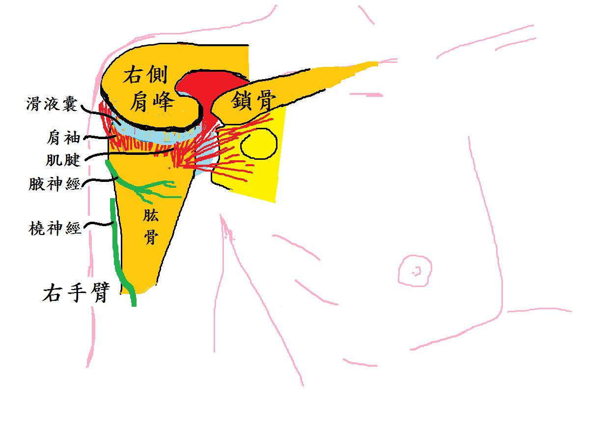 右肩圖(陳信彰醫師繪製)
