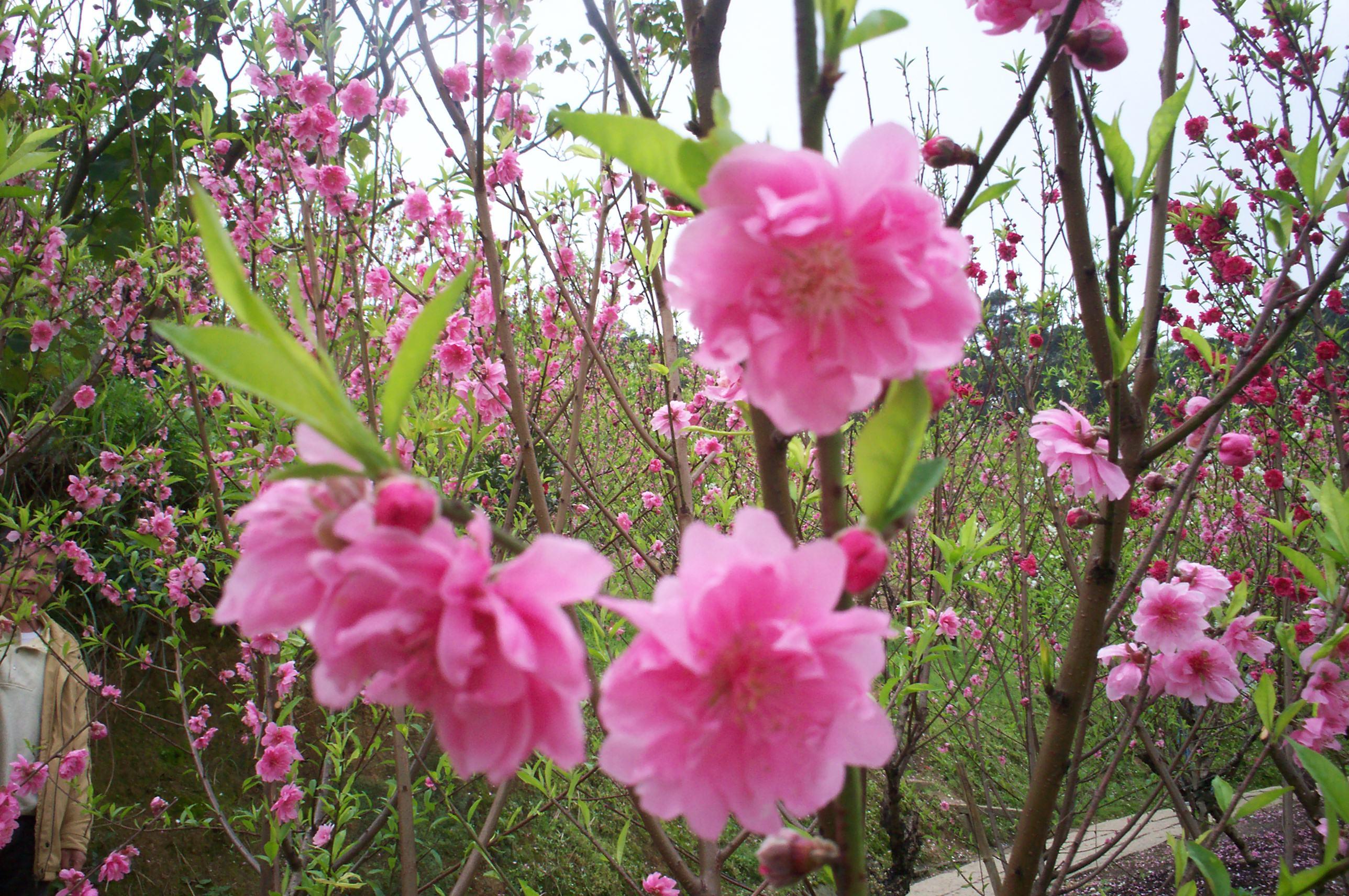 杏花林園景-14