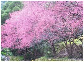 右邊:粉紅花色的杏花樹