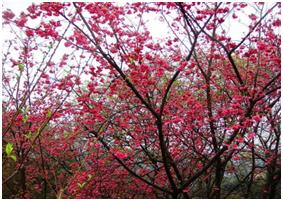 左邊:杏花林美景