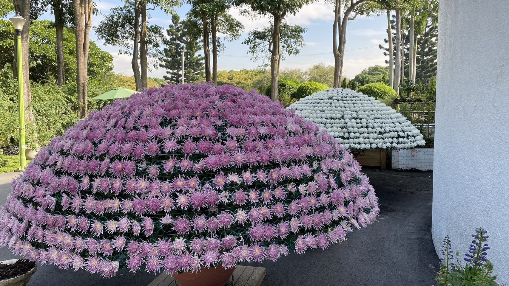 Football Chrysanthemum at Taipei Rose Garden