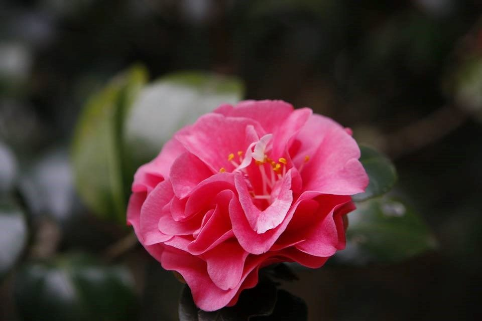 A close look at the showcased camellia